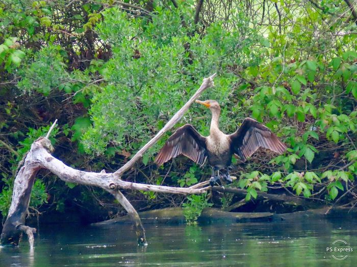 Cormorant drying out wings spread perched on a bare wooden tree limb over water surrounded by leaves birdwatching Birds of EyeEm animal themes outdoors beauty in nature Water Animal Wildlife Bird No People
