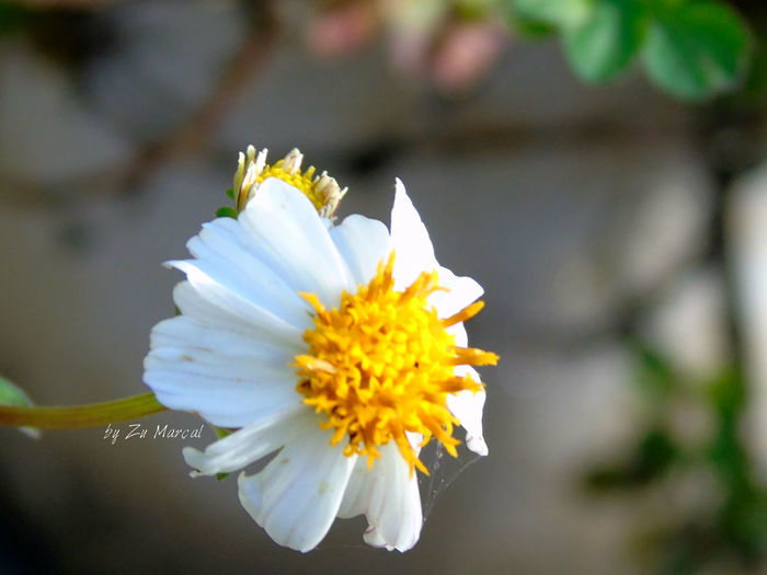 Simples flor Abranca e amarela! Animal Themes Beauty In Nature Blooming Flower Flower Head Focus On Foreground Fragility Nature Outdoors Petal Plant Pollen Springtime White Color