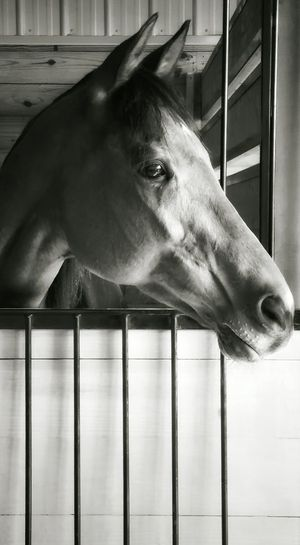 Follow her eyes as she looks out to see where it is that she wants to be. Horse Horse In Stall Brown Horse Thoroughbred Thoroughbred Horse Black And White Black & White Look Looking Looking Away Horse Portrait From My Eyes To Yours Letgodhandleit Barn Stall Equine Big Eyes Big Brown Eyes Pretty Love From My Point Of View I See You Race Horse Eye4photograghy The Following TCPM