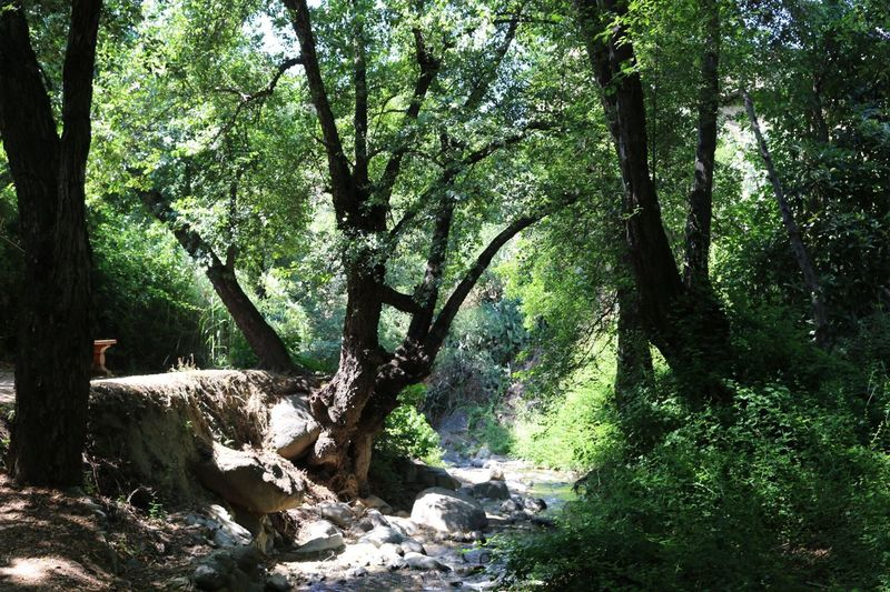 Kakopetria Nature Pathway Forest Trees Plant Small River Rock Beautiful Nature Peaceful Cyprus Natural Beauty Wild Plant (null) Nature_collection Nature Beauty Naturelovers Nature Photography Green Color Troodos Forest Path Forest Trees Forestwalk Forest Photography Forest Walk Forest View
