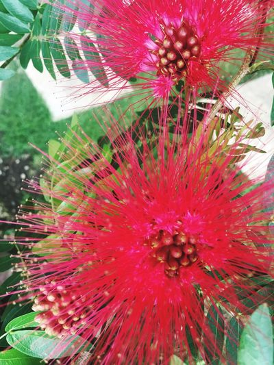 Flowering Plant Flower Close-up Red No People Freshness Nature Inflorescence Vulnerability  Beauty In Nature Full Frame