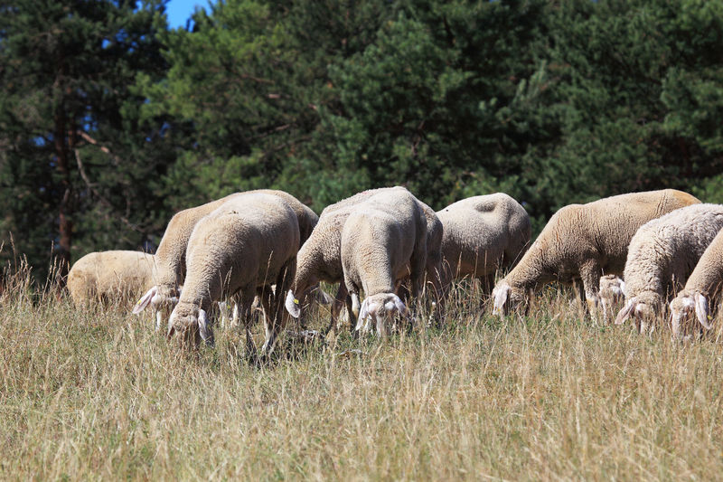 Grazing Sheep Pasture Agriculture Animal Animal Family Animal Themes Animals In The Wild Domestic Domestic Animals Field Grass Grazing Group Of Animals Herbivorous Herd Land Livestock Mammal Nature No People Paddock Plant Sheep Sheeps Tree Vertebrate Young Animal