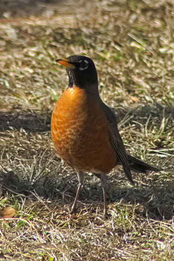 Red Robin Montgomery, Alabama Alabama Montgomery Montgomery, Al. Alabama Outdoors Animal Themes Animal Wildlife Animals In The Wild Bird Close-up Day Field Grass Nature No People One Animal Outdoors Perching Red Robin Robin Robin Redbreast