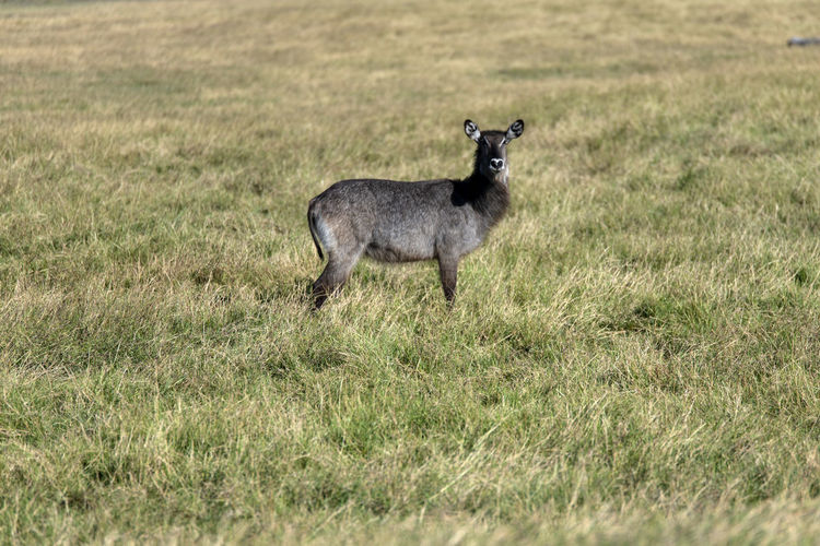 Side view of a waterbuck standing on field
