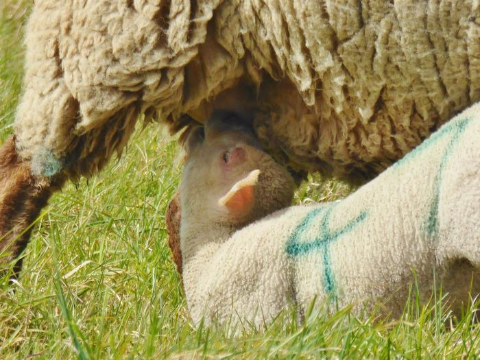Close-up of sheep on grass