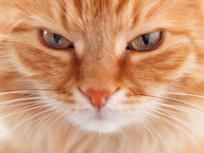 Close up portrait of cute ginger cat. fluffy pet is staring in camera.