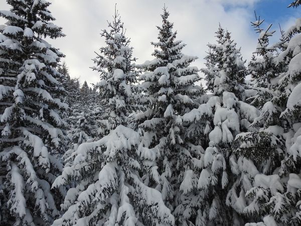 Beauty In Nature Christmas Cold Temperature Coniferous Tree Day Evergreen Tree Fir Tree Forest Landscape Nature Needle - Plant Part No People Outdoors Pinaceae Pine Tree Pine Woodland Scenics Sky Snow Tree Weather Winter