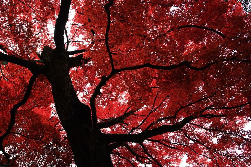 Tree Nature Branch Tree Trunk Low Angle View Beauty In Nature Growth Autumn Outdoors No People Red Day Scenics Sky