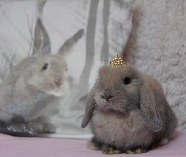 Close-up portrait of rabbit wearing tiara on bed at home