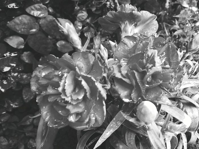 Freshness Growth Nature Plant Claveles Rojos Petal Beauty In Nature Garden Photography Black&white Flowers