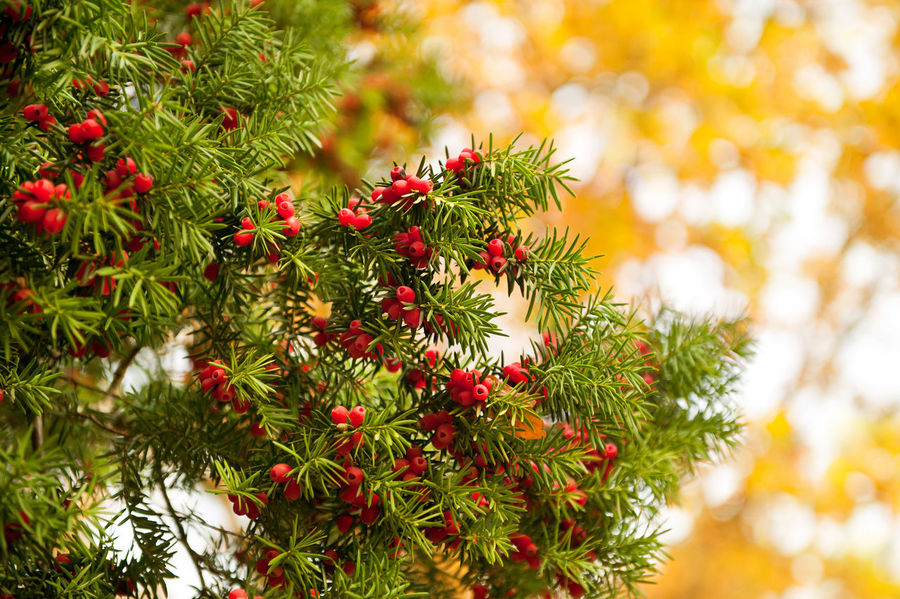 Yew red fruits bunch grow on twigs, Taxus baccata in autumn season in Poland, coniferous poisonous evergreen tree or large shrub detail in vertical orientation on yellow blurred background, nobody. Acerose Autumn Berries Branch Conifer  Coniferous Evergreen Foliage Fruit Fruits Nature No People Plant Poisonous Red Ripe Shrub Taxus Taxus Baccata Tree Twig Yew