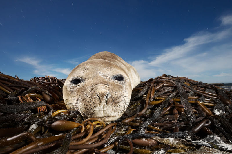 Close-up of seal relaxing on seaweed