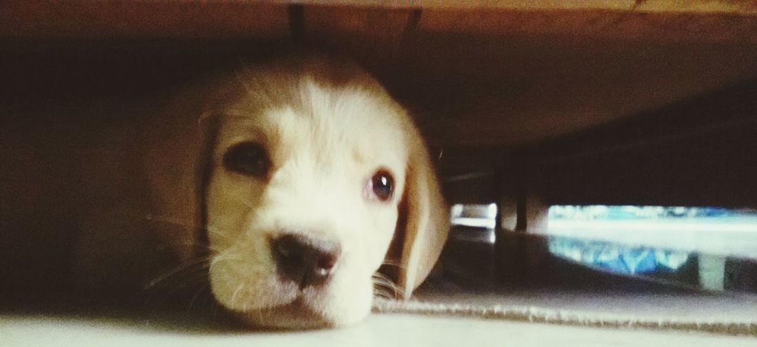 Showcase April my puppy ❤ Hide And Seek So Cute Labrador Under The Bed ..☺😊😁😀 Cheenu