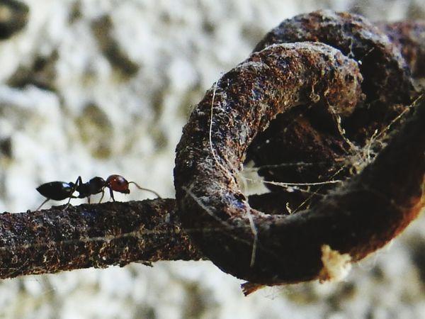 a little tireless EyeEm Selects Insect Close-up Ant Animals Mating Animal Behavior Invertebrate Beetle Animal Antenna Animal Leg Colony