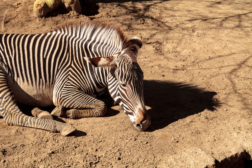 Grevy's zebra, Equus grevyi, relaxes in the sun after a dust bath. Africa African Animal Animal Themes Black And White Day Dirt Bath Dust Bath Endangered  Endangered Species Equine Equus Grevyi Grevy's Zebra Mammal Nature No People Outdoors Rest Sunlight Sunning Wild Animal Wildlife Zebra