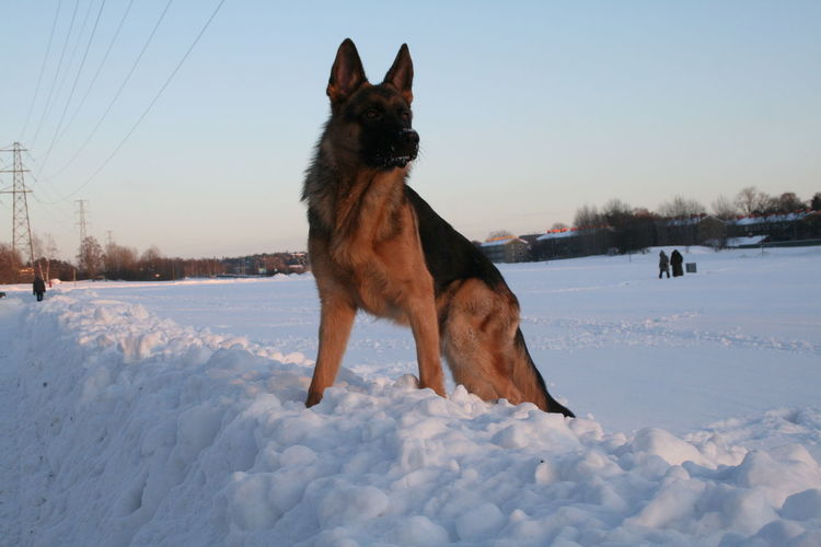 Animal Themes Cold Temperature Day Dog German Shepherd Nature One Animal Outdoors Pets Power Power In Nature Sky Snow Winter