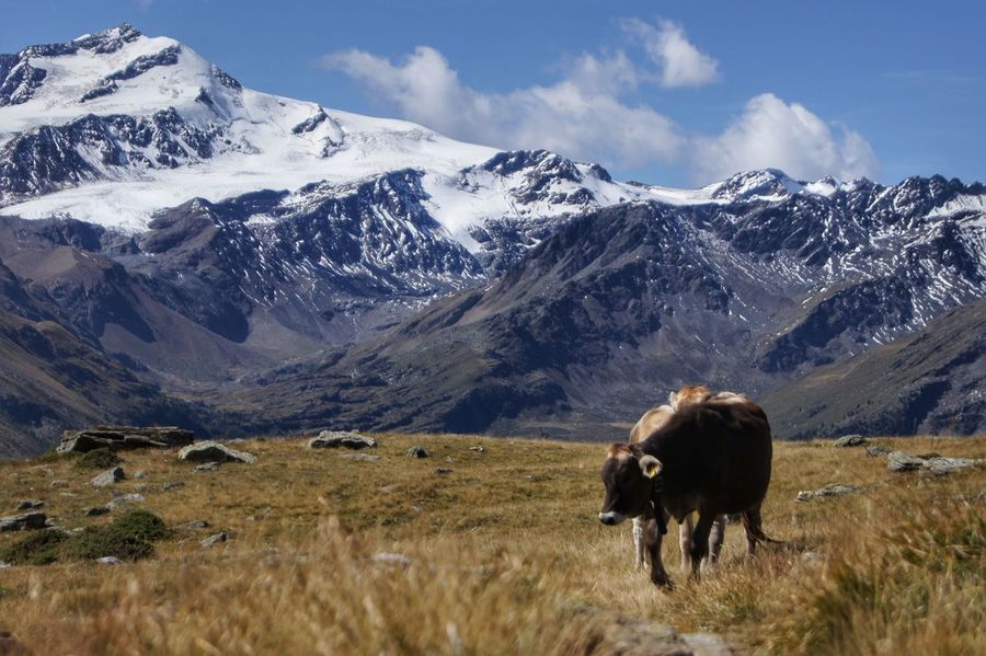 cow on field against snowcapped mountain Alpen Alpine Alto Adige Südtirol Animal Themes Animals In The Wild Beauty In Nature Cold Temperature Day Grass Landscape Mammal Mountain Mountain Range Nature No People One Animal Outdoors Scenics Sky Snow Snowcapped Mountain