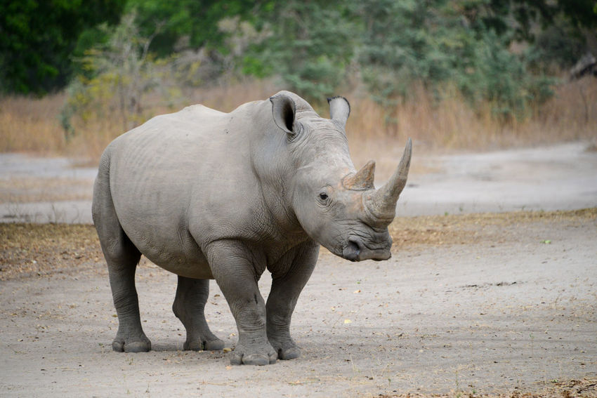 White rhino in Fathala National Park Senegal West Africa Wildlife & Nature Wildlife Photography Winter Africa Animal Themes Animal Wildlife Animals In The Wild Fathala Fathalareserve Focus On Foreground Mammal Nature No People One Animal Outdoors Rhino Rhinoceros Senegal White Rhino Wildlife