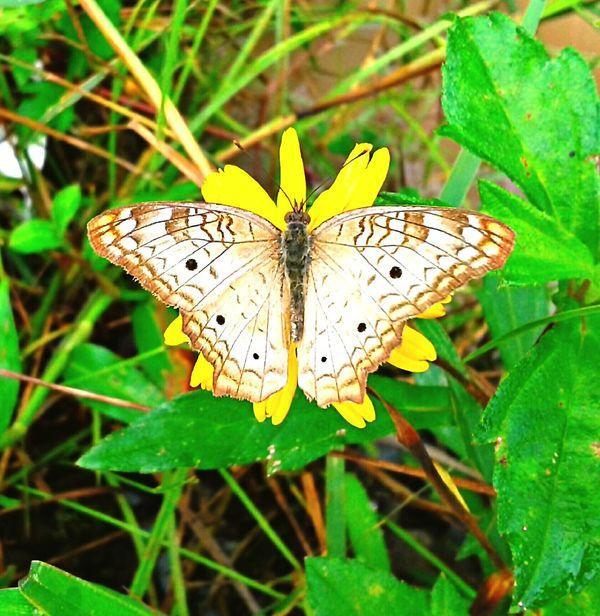 BORBOLETA Baterfly Flowers Flower Flores Polinización Polinization Polinização Peruibe-SP Brasil ♥ Coisa De Deus Nature_collection Natureza Perfeita♡♥
