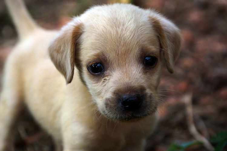 A Labrador Puppy Puppy Labrador Dog Canine Mammal One Animal Domestic Pets Domestic Animals Looking At Camera Portrait Young Animal Cute Close-up People Focus On Foreground Day Small Snout Animal Eye