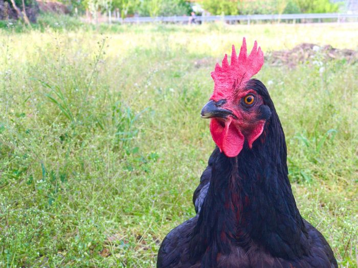Hen Fowl Chicken - Bird Rooster Livestock Domestic Animals Cockerel Bird Animal Crest Agriculture One Animal Animal Head  Outdoors Focus On Foreground Close-up Grass Portrait No People Animal Themes Feather  Looking At Camera Environment Farm Life Rural Scene