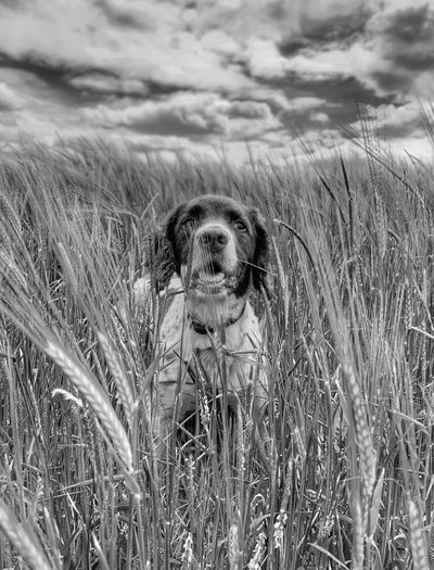 Waiting to pounce Black & White Dog Walking Iphone XR Springer Spaniel Dog Photography Mammal Sky One Animal Cloud - Sky Nature No People Plant Portrait Grass Outdoors Dog Canine