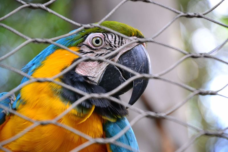 Close-up portrait of gold and blue macaw in cage