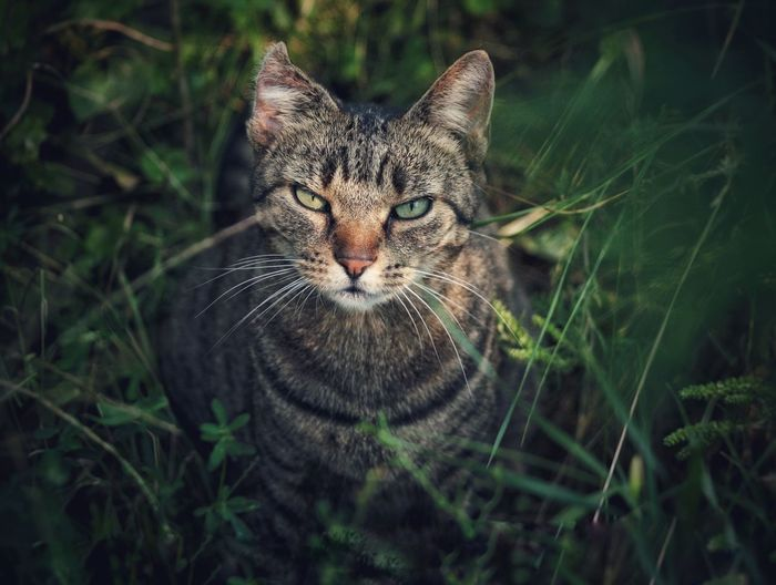 Portrait Of Tabby Cat Standing On Field