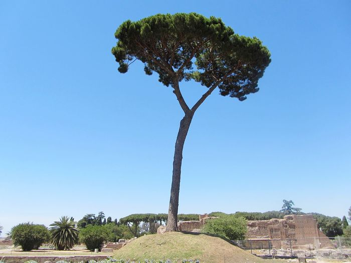 A lonesome tree on Palatine Hill - Rome, Italy Tree Clear Sky Growth Sky Nature Day Outdoors Low Angle View No People Beauty In Nature Architecture 3XSPUnity Landscape Travel Destinations Rome Italy Palatine Hill Tranquility Best Eyeem Pics Best EyeEm Nature Best EyeEm Photos Nature Archeology Historical Monuments Tourist Attraction  Tourism