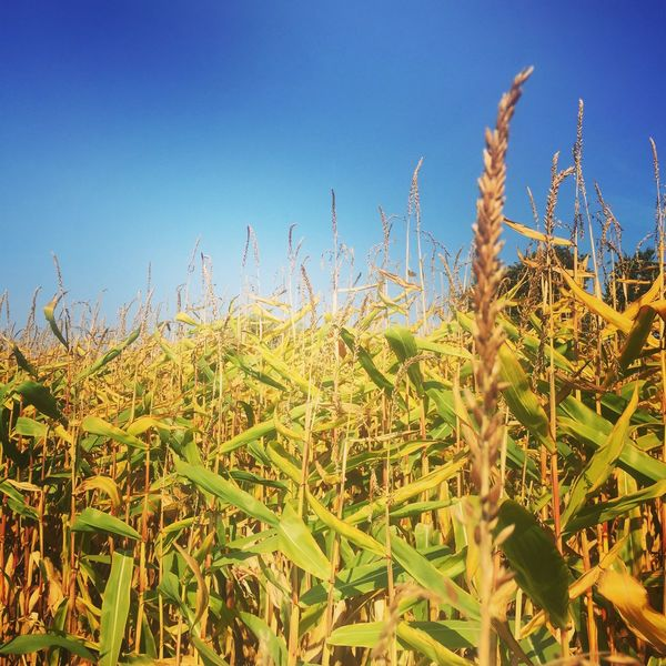 Corn Field Clear Sky Nature Blue Growth Cereal Plant No People Farm Outdoors Beauty In Nature Green Color capturing motion