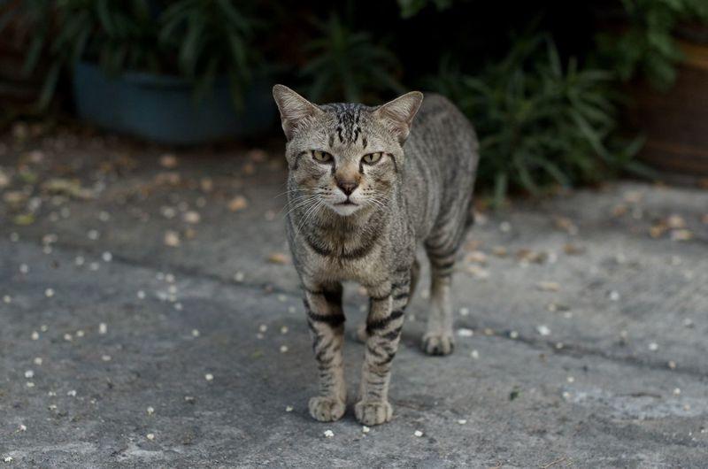 Portrait of tabby cat on footpath