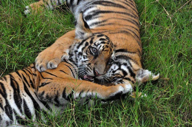 Tiger Pups Animal Cat Cuddle Cute Feline Mammal Play Tiger Tiger Pup Tigers Wildlife Wildlife & Nature