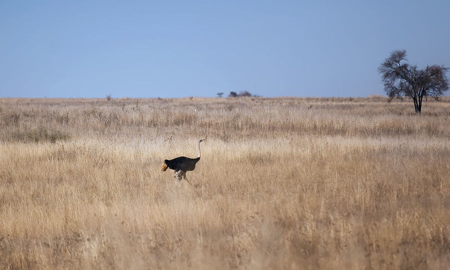Nature Reserve Ostrich South Africa Wanderlust Animal Themes Animal Wildlife Animals In The Wild Bird Clear Sky Day Game Reserve Grass Landscape Mammal Nature No People One Animal Outdoors Safari Sky Travel Destinations