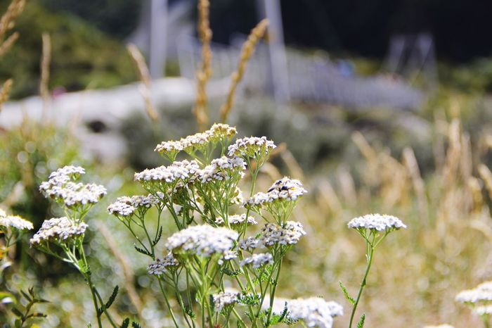 New Zealand NZ Travel Mountcook Mountcooknationalpark Flower Nature White Color Growth Plant Focus On Foreground Beauty In Nature Fragility No People Day Outdoors Close-up Freshness Flower Head Blooming Good Night World