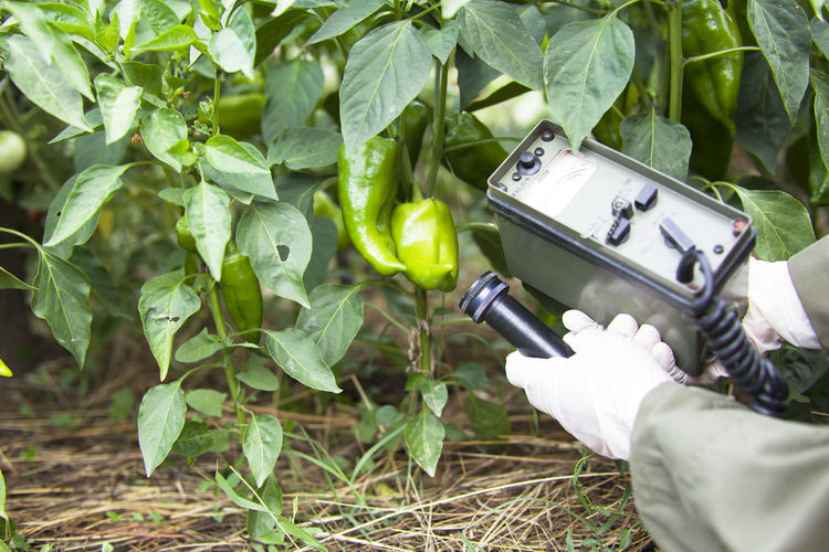 Measuring radiation levels of vegetable Agriculture Agriculture Analayzing Close-up Food Gaiger Gloves Green Paprika Growth Healthcare Human Hand Leaf Measuring Nature Outdoors People Plant Protective Radiation Radioactive Vegetable
