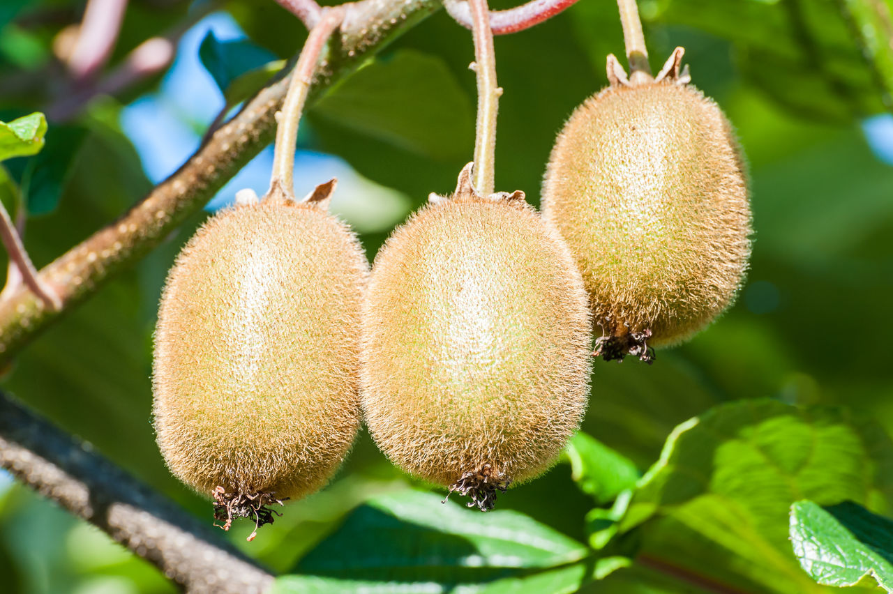 Low Angle View Of Kiwis Growing Outdoors