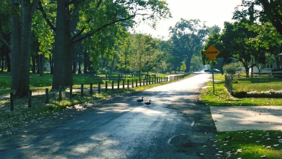 Ducks Two Ducks Crossing Crossing The Street Park At The Park Road Crossing The Road Street Crossing