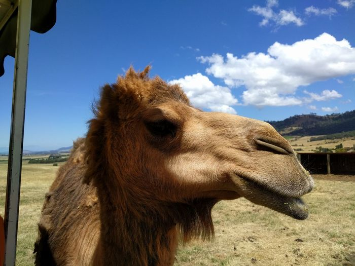Mobilephotography Sky And Clouds Travel Destinations NoEditNoFilter Trees And Sky Hobart Close-up Animal Themes Animal Animal Wildlife Desert Sky Close-up Camel