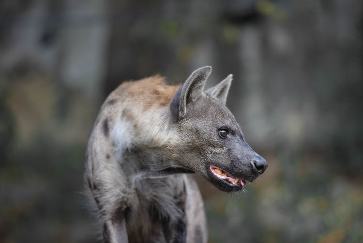 Close-up of a hyenas looking away