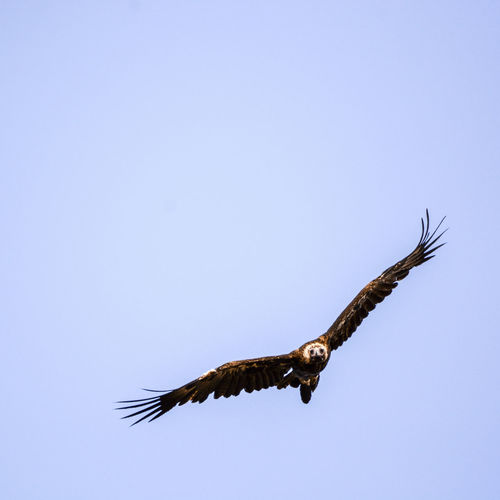 Wedge-tailed Eagle Animal Wildlife Animals In The Wild Beauty In Nature Bird Bird Of Prey Clear Sky Day Flying Mid-air Motion Nature One Animal Outdoors Spread Wings Wedge-tailed Eagle