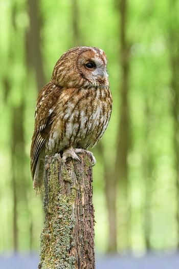 Tawny Owl -
