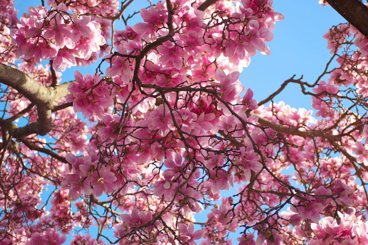 Pink Color Tree Flower Branch Flowering Plant Plant Low Angle View Blossom Beauty In Nature Growth Springtime Fragility Nature Freshness Sky No People Vulnerability  Outdoors Spring Flower Head Blooming Magnolia Blue Clear Sky
