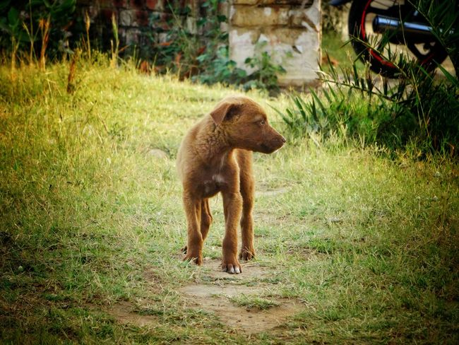 Dog❤ Dogs Of EyeEm Indian Dog Minor Desi Dog Canal Side Animal Themes Grass No People One Animal Nature Outdoors Day