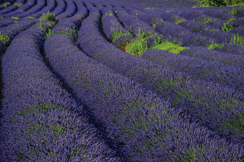 Scenic view of lavender growing on field