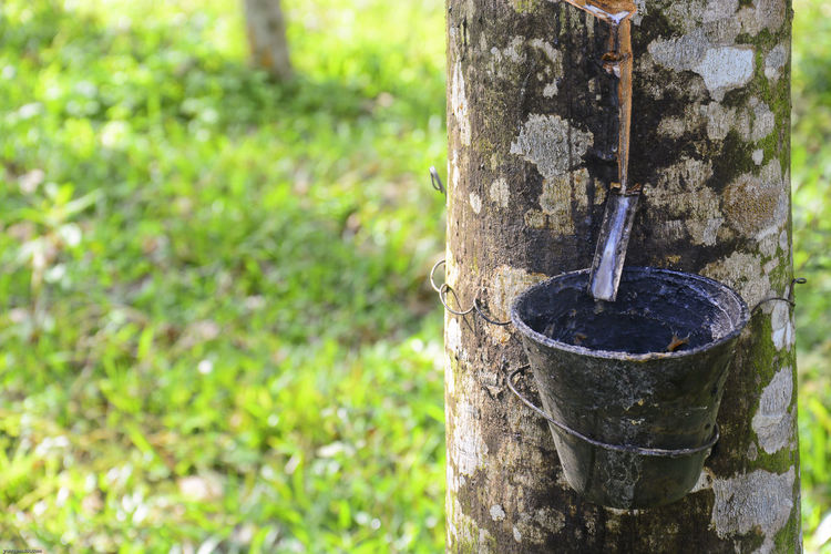 Close-Up Of Bucket Hanging On Rubber Tree