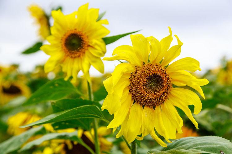 Close-up of yellow sunflower