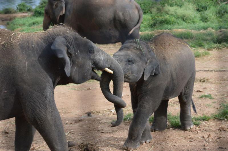 Close-Up Of Elephants Locking Trunks