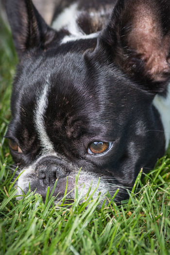 A cute black and white French Bulldog dog head portrait with cute expression in the wrinkled face. Funny because of the wide-angle lens. Adorable Baby Baby Animal Baby Animals Best Friend Big Head Black Breed Bulldog Canine Charming Cub Cute Dog Doggie Doggy Domestic Animal Ears Expression Face Fashion Dog Francais French French Bulldog Frenchie Friendly Funny Fur Grass Happy Head Cocked Little Looking At Camera Loyal Muzzle Nose Obedience Obedient Paw Paws Pedigree Pedigreed Pet Pose Posing Pup Puppy Pure Bred Dog Purebred Small Small Body Small Breed Snout Sweet Teeth Whelp White Wrinkled Yard Young