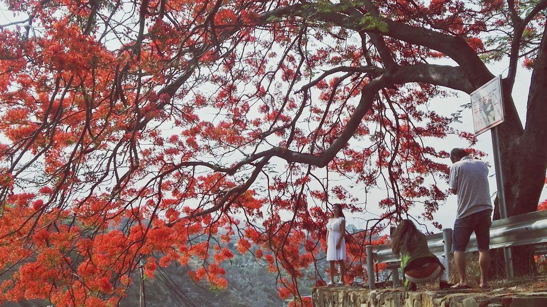 凤凰树系列7 Tree Branch Leaf Red Autumn Sky Architecture