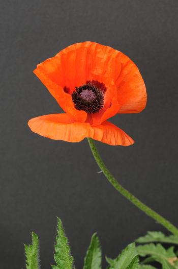 Beauty In Nature Botany Flower Flower Head No People Petal Plant Popy